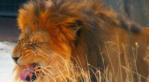 лев чихает
