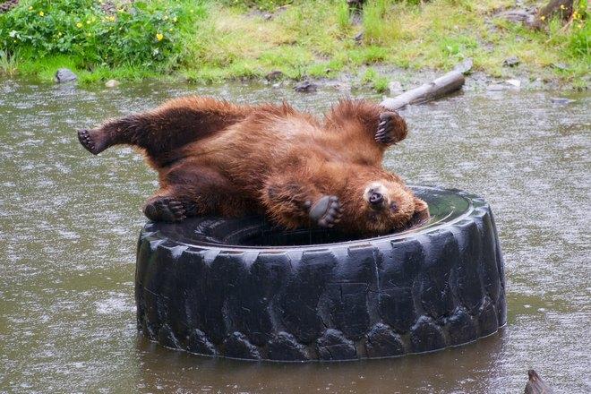 Медведь на шине