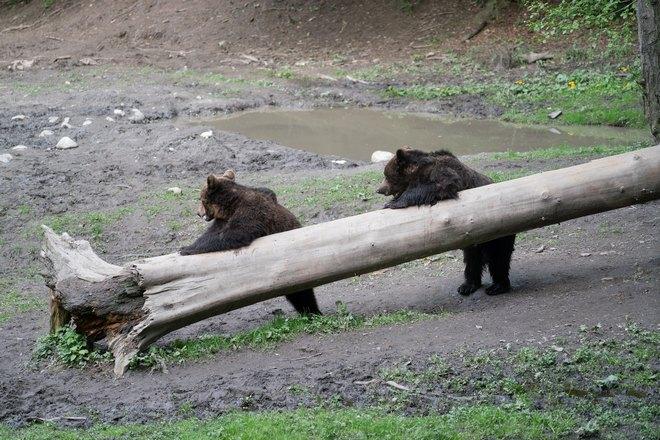 Медведи возле упавшего дерева