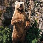 Медведь во весь рост