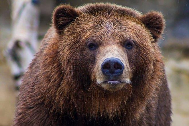 Суровый медведь