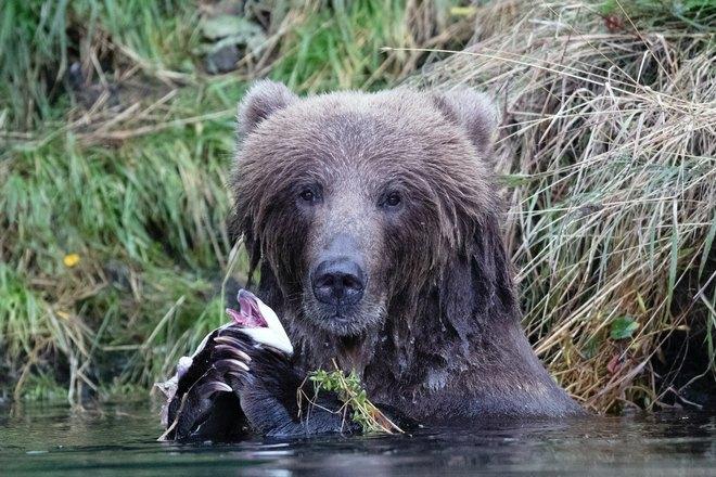 Медведь собирается поесть