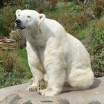 Беленький медведь