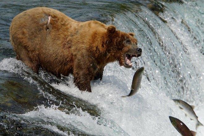 Медведь хватает рыбу