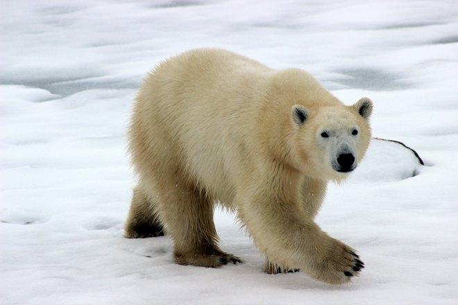 Белый медведь куда-то идет