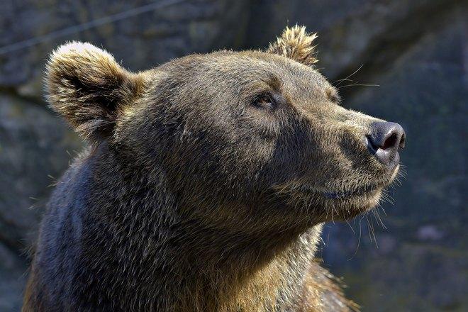 Медведь учуял охотника