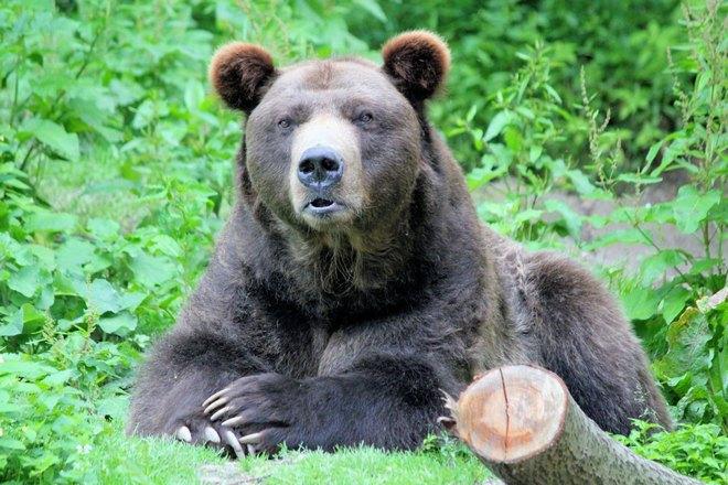 Медведи очень опасны