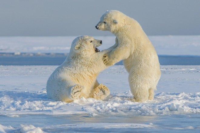 Белые медвежата играют
