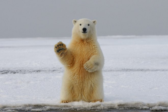 Медведь приветствует вас