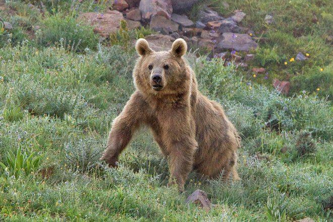 Медведь готовится к преследованию