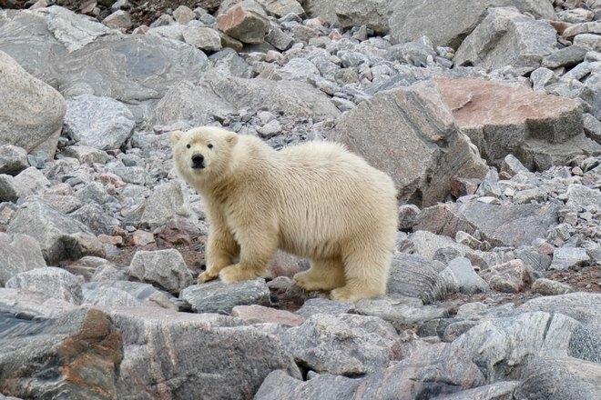 Белый медведь стоит на камнях
