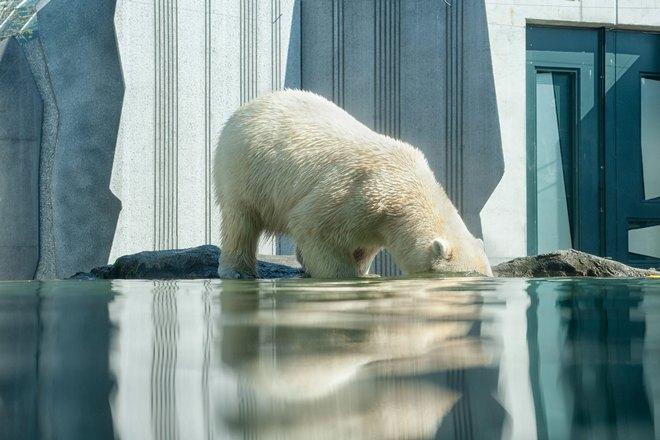 Медведь опустил голову в воду