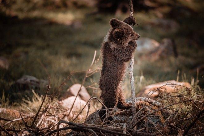 Медвежонок стоит на задних лапах