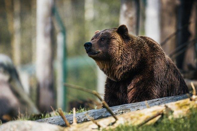 Медведь смотрит вдаль