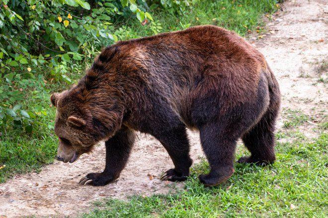 Медведь на тропинке