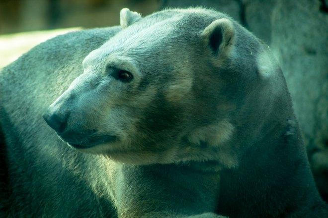 Пятнистый медведь