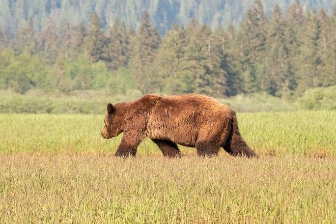 Медведь идет по траве