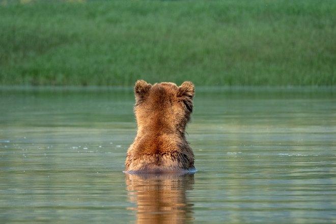 Медведь купается
