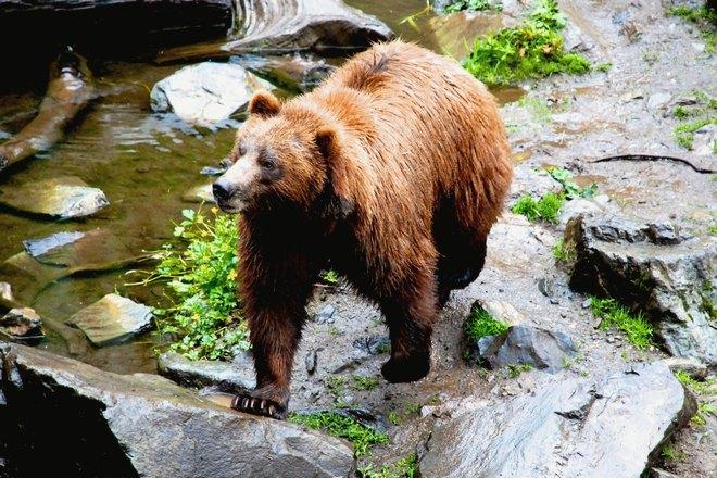 Медведь может неожиданно напасть