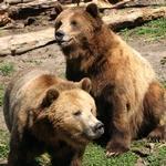 Два крупных медведя