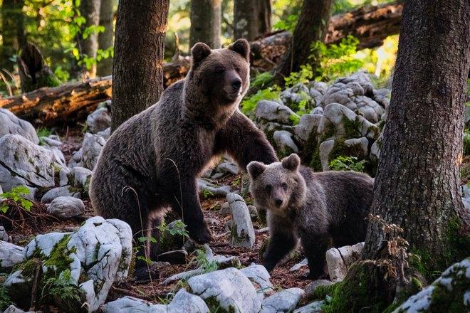 Медвежонок возле медведицы
