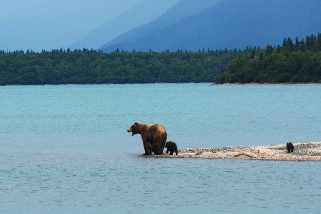 Медведи возле водоема