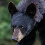 Черный медведь с большими ушами