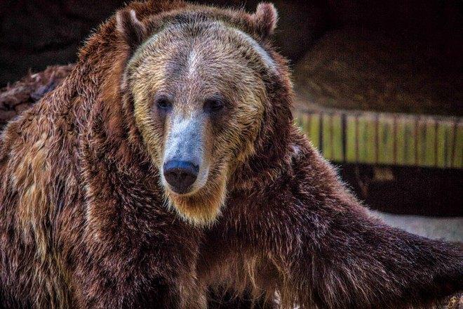 Медведь со светлым пятном