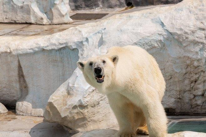 Белый медведь что-то увидел