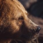 Медвежья морда
