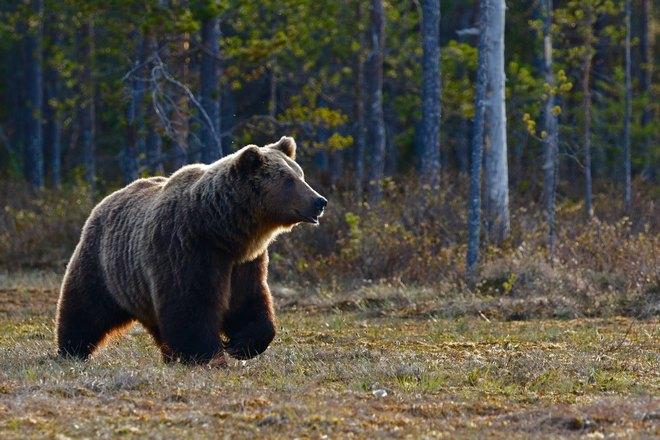 Медведь ищет добычу