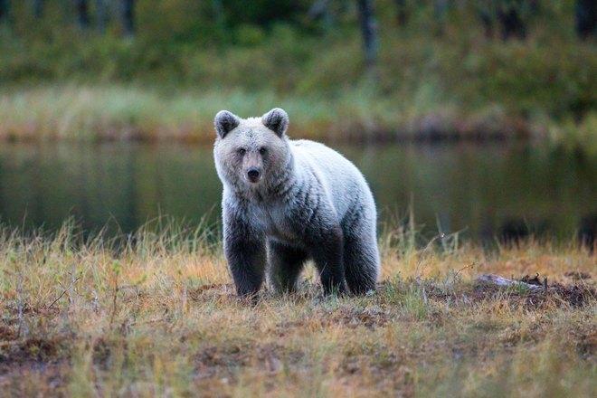 Пепельный медведь