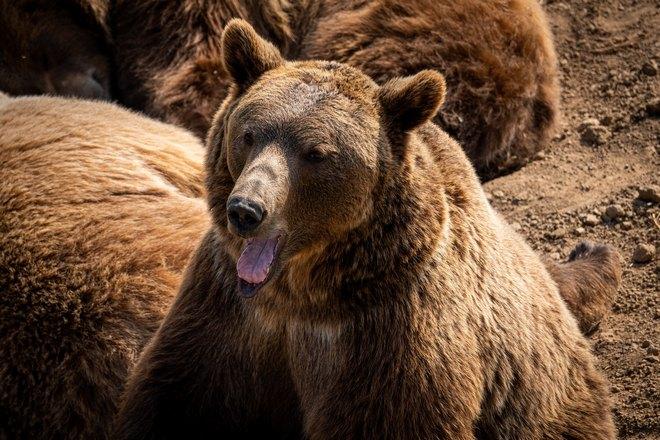 Медведь высунул язык
