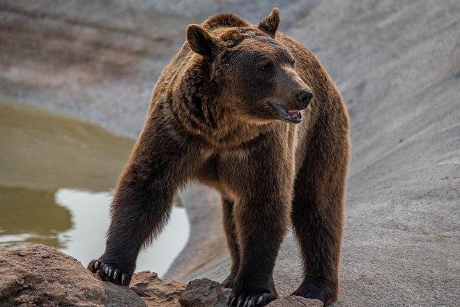 Медведь на четырех лапах