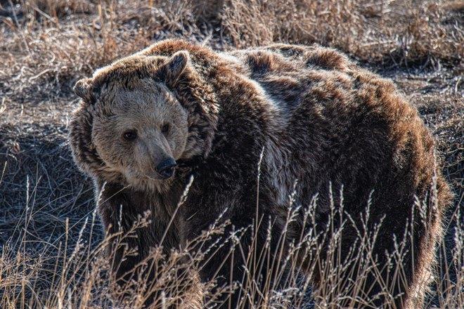 Медведь с необычной шерстью