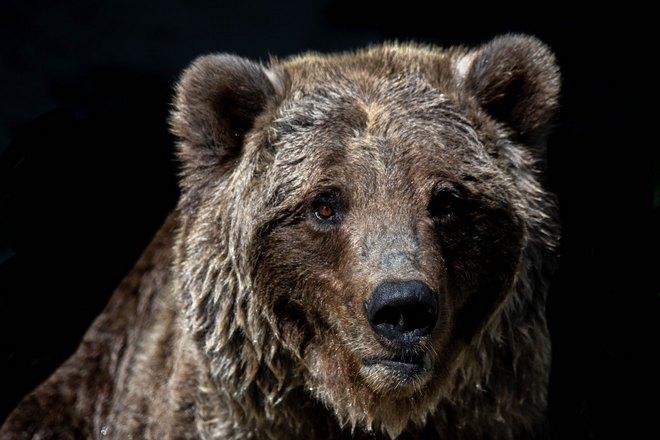 Пристальный взгляд медведя