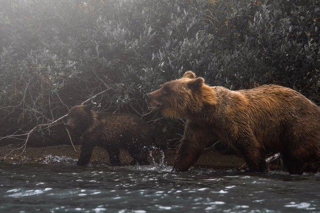 Медведи куда-то идут