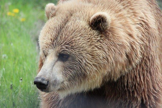 Медведь со светлой шерстью