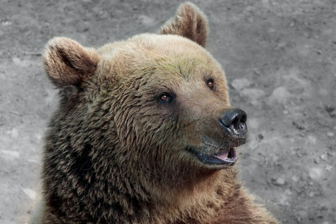 Медведь приоткрыл пасть