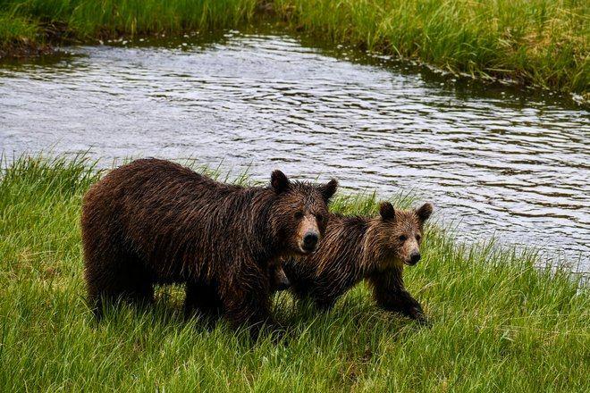Медведи идут по траве