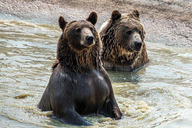 Медведь и медведица