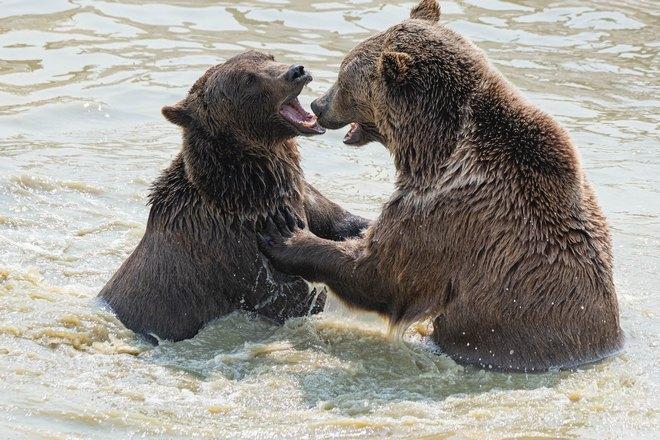 Два медведя резвятся в воде