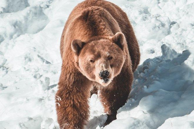 Бурый медведь на снегу