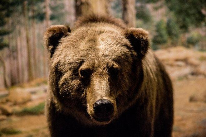 Медведь с коричневой шерстью