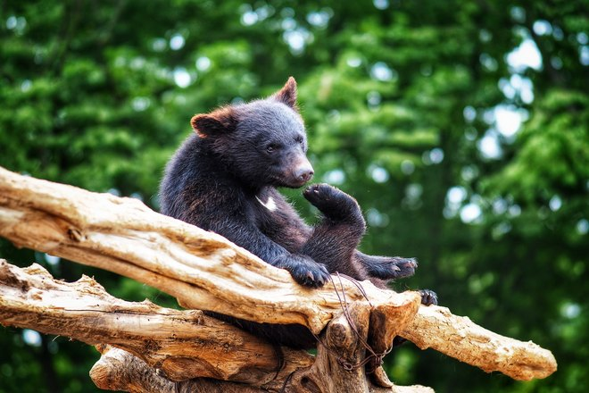 Небольшой медведь