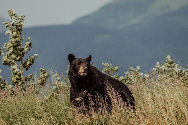 Медведь в высокой траве