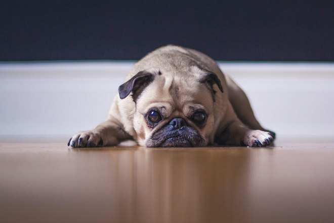 Приснился плачущий пес