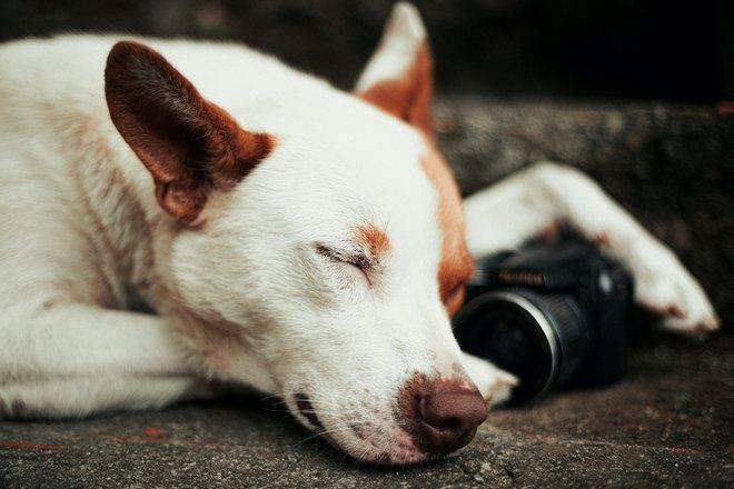 Собака спит возле фотоаппарата