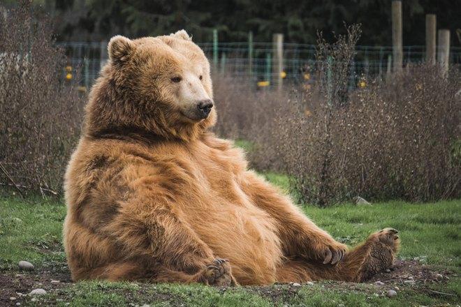 Большой медведь сидит