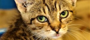 ассирийский котенок